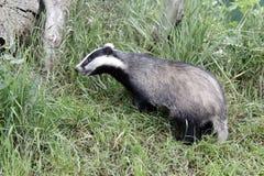 Badger, Meles meles Royalty Free Stock Photography