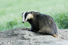 Badger, Meles meles Stock Images