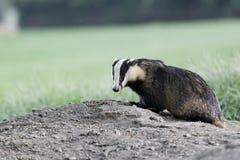 Badger, Meles meles Royalty Free Stock Photo