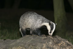 Badger,  Meles meles Royalty Free Stock Image