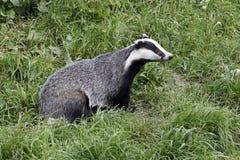 Badger, Meles meles. Single mammal on grass, captive Stock Photography