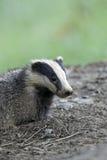 Badger, Meles meles Royalty Free Stock Photos
