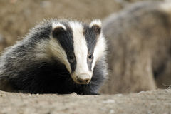 Badger, Meles meles. Single mammal head shot, Wales, June 2011 Stock Photo