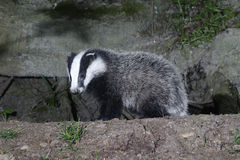 Badger, Meles meles Stock Photography