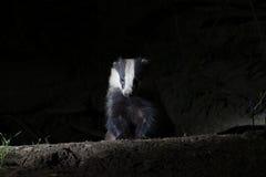 Badger, Meles meles Stock Photo