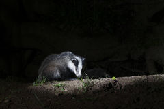 Badger, Meles meles Royalty Free Stock Photos