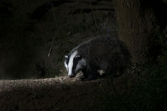 Badger, Meles meles Royalty Free Stock Image