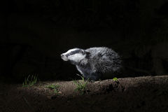 Badger, Meles meles Stock Image