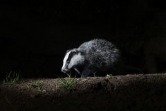 Badger, Meles meles Royalty Free Stock Images