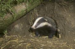 Badger, Meles meles. Single mammal, UK Royalty Free Stock Photos