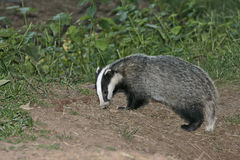 Badger, Meles meles Royalty Free Stock Photography