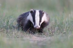 Badger, Meles meles Stock Photos