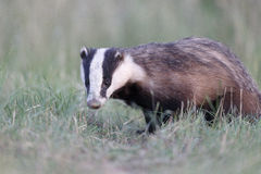 Badger, Meles meles Stock Photos