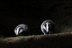 Badger, Meles meles. Two mammals at set, Warwickshire, May 2014 Stock Image