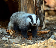 Badger in nature Royalty Free Stock Images