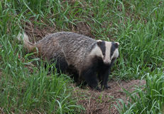 Badger near of the hole Royalty Free Stock Photos