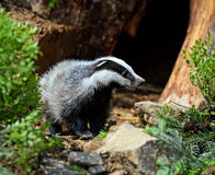Badger Stock Image