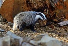 Badger Stock Photo