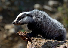 Badger. Near its burrow in the forest Stock Photos