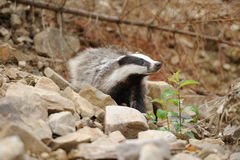 Badger Royalty Free Stock Images