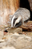 Badger stock images