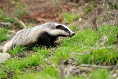 Badger. Near its burrow in the forest blurred background Royalty Free Stock Image