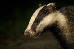 Badger at night, dark background portrait Royalty Free Stock Photos