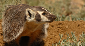 Badger Nosing The Way. A Badger looking out into the distance in Wyoming Stock Image