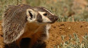 Badger Nosing The Way Stock Image