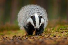 Badger o corredor na floresta, habitat da natureza animal, Alemanha, Europa Cena dos animais selvagens Texugo selvagem, meles do  fotos de stock