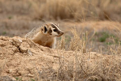 Badger Outside Den Stock Images