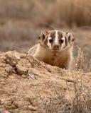 Badger Peeking Out Of Burrow. An American Badger peeking out of its burrow in Colorado stock image