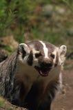 badger plątanie Obraz Stock