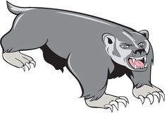 Badger Pouncing Cartoon. Illustration of a badger pouncing viewed from front set on  white background done in cartoon style Stock Photos
