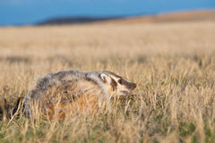 Badger on prairie with blue sky in background Royalty Free Stock Photo