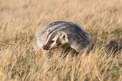 Badger in prairie grass given the old evil eye Royalty Free Stock Image