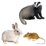Badger, Rabbit, and Mouse Royalty Free Stock Images