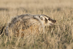Badger ready for fight Stock Images