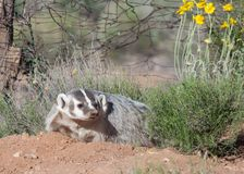 A badger resting on a small mound of dirt with desert plants and an old wire fence nearby. Stock Photo
