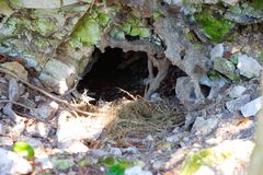 Badger`s den with nesting at the entrance stock image