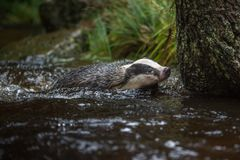Badger in forest, animal in nature habitat, Germany, Europe. Wild Badger, Meles meles, animal in the wood. Mammal in environment, royalty free stock image