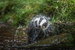 Badger in forest, animal in nature habitat, Germany, Europe. Wild Badger, Meles meles, animal in the wood. Mammal in environment, stock images