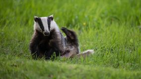 Badger scratching his back with a green background Royalty Free Stock Photography