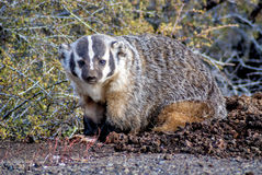Badger sits in the morning sun Royalty Free Stock Photography