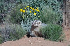 Badger sitting between desert marigold and snake weed bush with old fence posts and wire fence in the background. royalty free stock photos