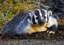 Badger sitting on the ground Stock Images