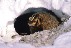 Badger Snarling in Snow Stock Photography