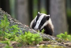 Badger sniffing Royalty Free Stock Photos
