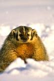 Badger in Snow Stock Photo