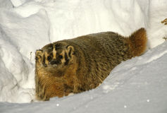 Badger in Snow Royalty Free Stock Photos